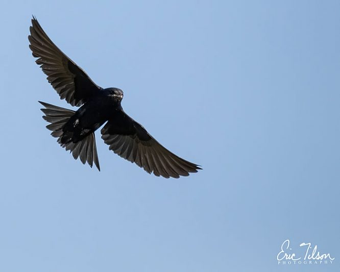 Eric Tilson Photography - PLX Purple Martins
